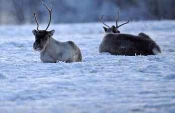 lapland-reindeer_1116041i
